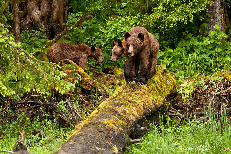 Grizzly Bear Mother with cubs,