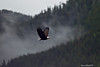 An Eagle in flight on a  misty morning in the valley of the Grizzly Bears.