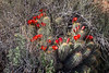 Claret cup cactus in Mormon Tea