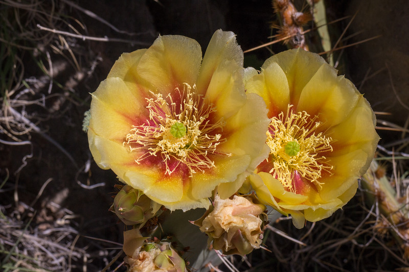 A couple of the many cactus flowers - the desert was beautiful this year