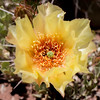 Prickly Pear Cactus - Opuntia sp.