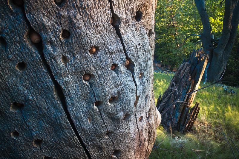 Acorns in Dead Tree