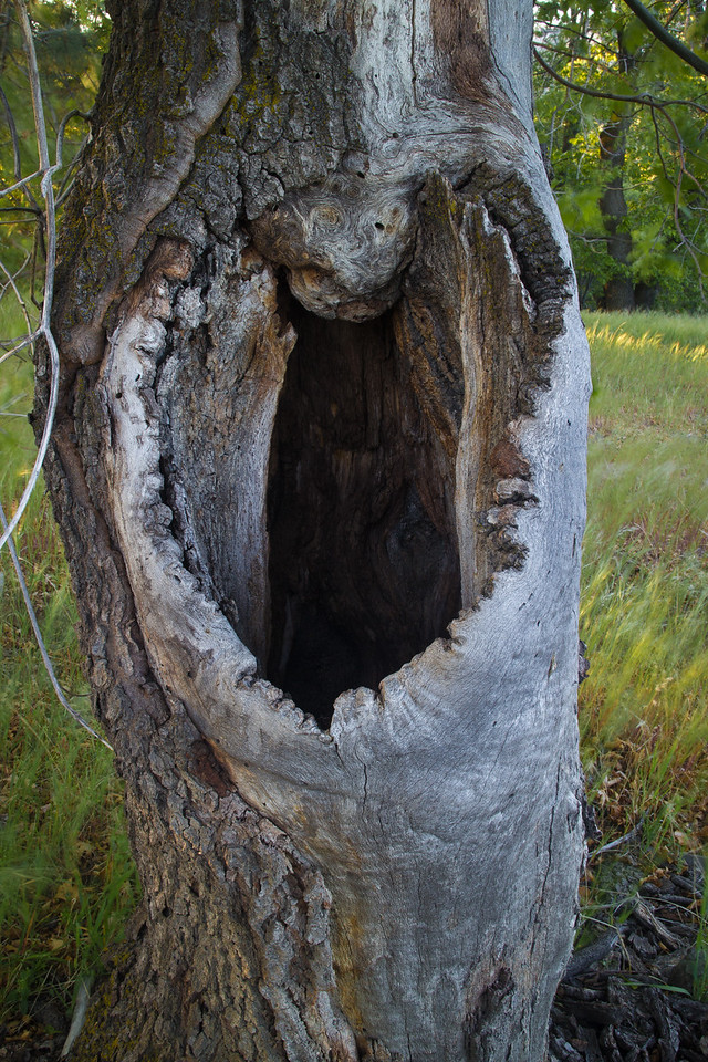 Hollowed Oak