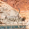 Lake Powell - Ghost Trees with Canyon Face - Forgotten Canyon