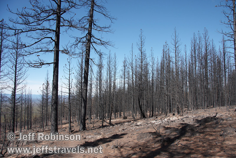 Burned trees with reddish pine cones still on them (9/6/2009, Hat Creek Rim hike, Pacific Crest Trail near 44/89 junction)