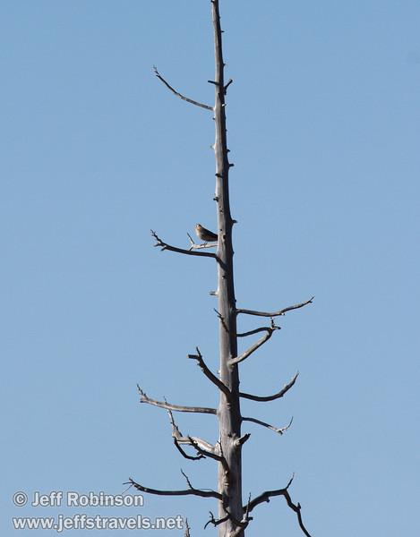 Falcon-like brid on a dead tree snag against blue sky. Likely an American Kestrel (9/6/2009, Hat Creek Rim hike, Pacific Crest Trail near 44/89 junction)