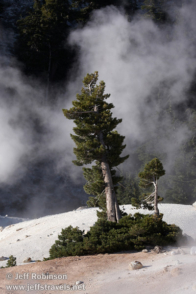Steam clouds drifting behind a green pine tree at Bumpass Hell. Photographed from the trail to Cold Boiling Lake (9/7/2009, Bumpass Hell Trail, Lassen NP)