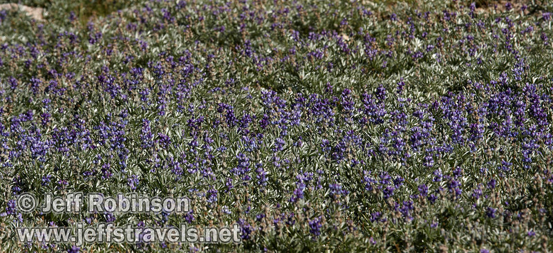 A field of purple lupine flowers (9/7/2009, Bumpass Hell Trail, Lassen NP)
