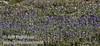A field of purple lupine flowers (9/7/2009, Bumpass Hell Trail, Lassen NP)