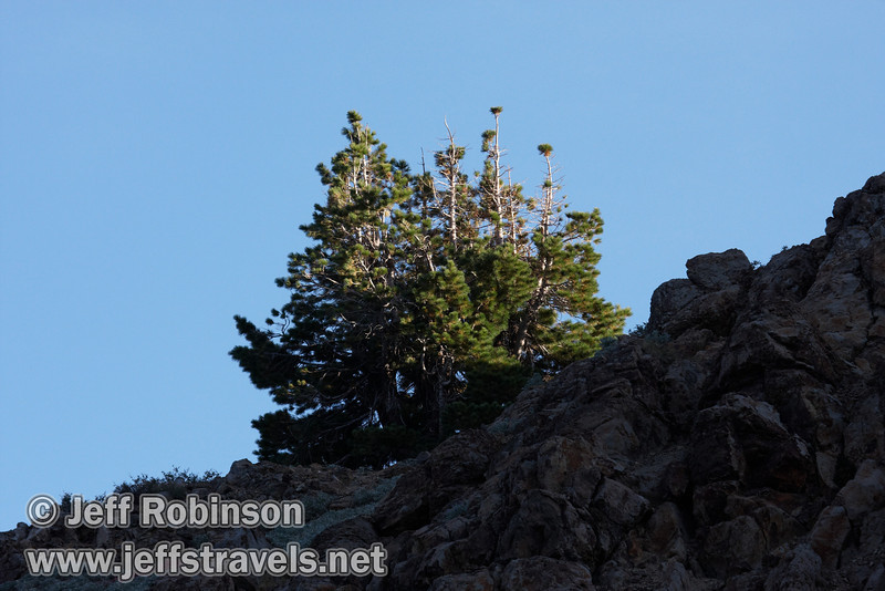 Late sun on a tree on the top of a shaded cliff. Seen from the trail climbing out of Bumpass Hell. (9/7/2009, Bumpass Hell Trail, Lassen NP)
