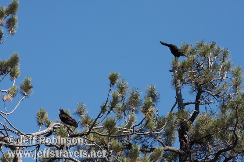 A pair of vultures in pine trees near marker 11 (9/8/2009, Spatter Cones Nature Trail, Lassen NF)