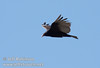 A vulture in flight against deep blue sky near marker 11 (9/8/2009, Spatter Cones Nature Trail, Lassen NF)