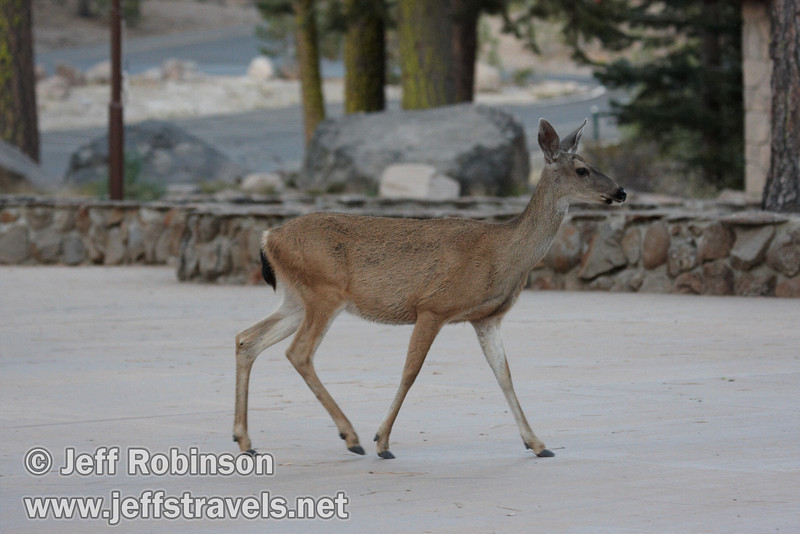 Female deer by the visitor center (9/10/2009, Manzanita Lake, Lassen NP)