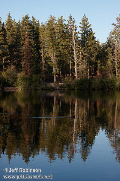 Trees reflected in Manzanita Lake, with a swimming duck making a V in the water in the foreground (9/10/2009, Manzanita Lake, Lassen NP)
