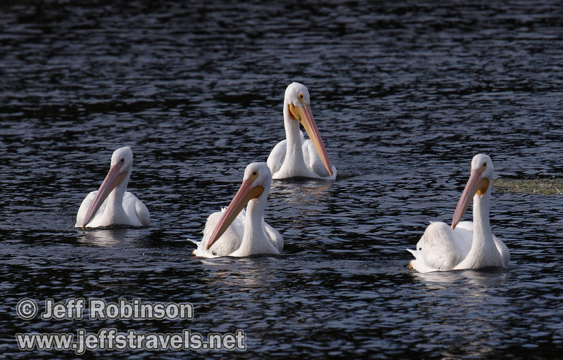 Four White Pelicans swimming on Baum Lake, with floating weeds in the foreground (9/12/2009, Crystal and Baum Lakes, Cassel, CA)