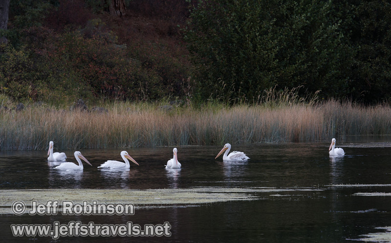 Six White Pelicans swimming on Baum Lake (9/12/2009, Crystal and Baum Lakes, Cassel, CA)