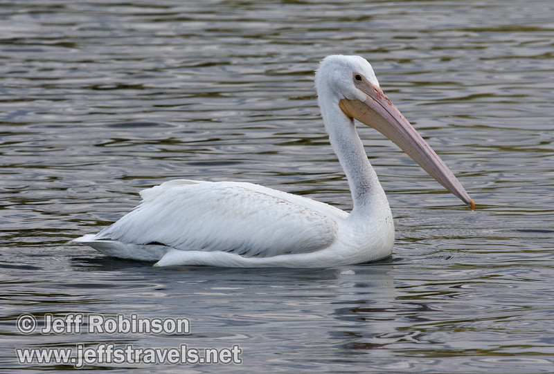 White Pelican in shade on the rippled waters of Baum Lake (9/12/2009, Crystal and Baum Lakes, Cassel, CA)