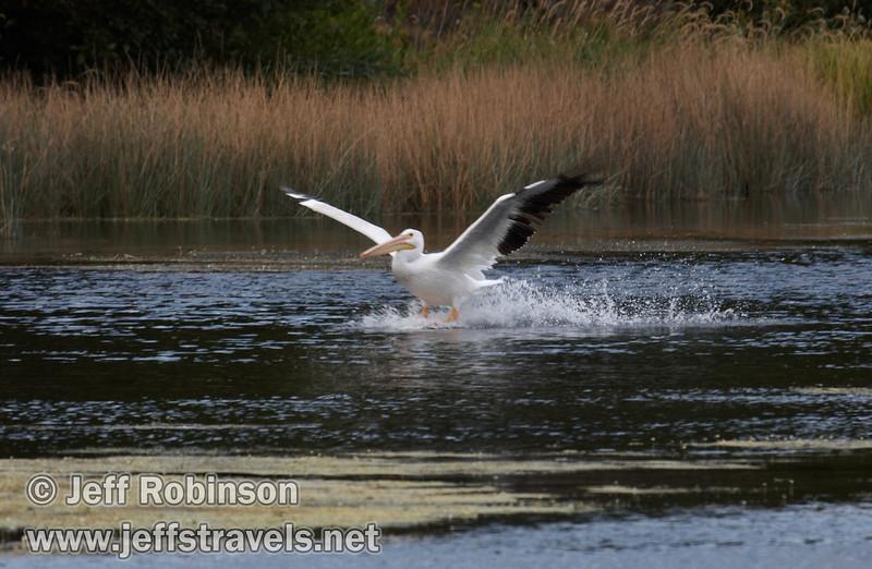 White Pelican landing on Baum Lake (9/12/2009, Crystal and Baum Lakes, Cassel, CA)