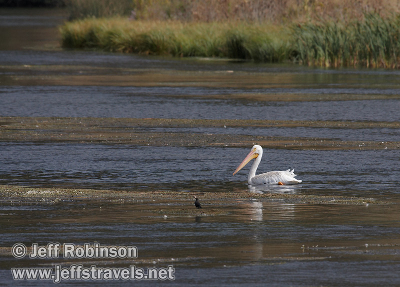 A white pelican swimming in Baum Lake (9/12/2009, Crystal and Baum Lakes, Cassel, CA)