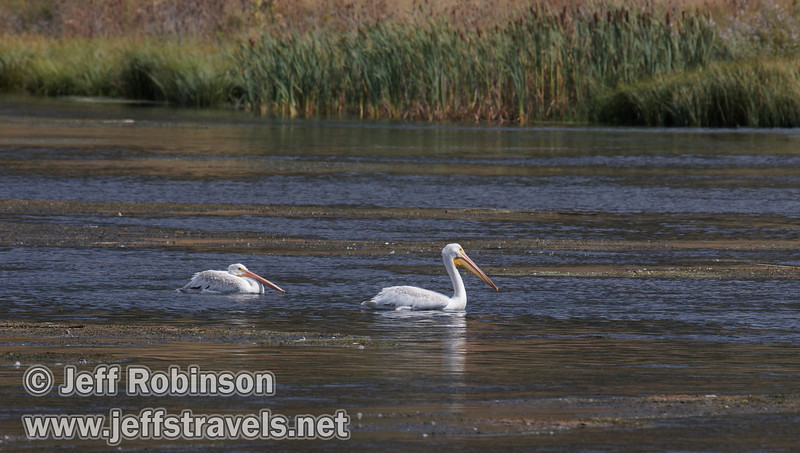 A pair of white pelicans swimming in Baum Lake (9/12/2009, Crystal and Baum Lakes, Cassel, CA)