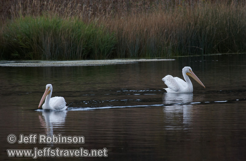 Two White Pelicans swimming on Baum Lake (9/12/2009, Crystal and Baum Lakes, Cassel, CA)