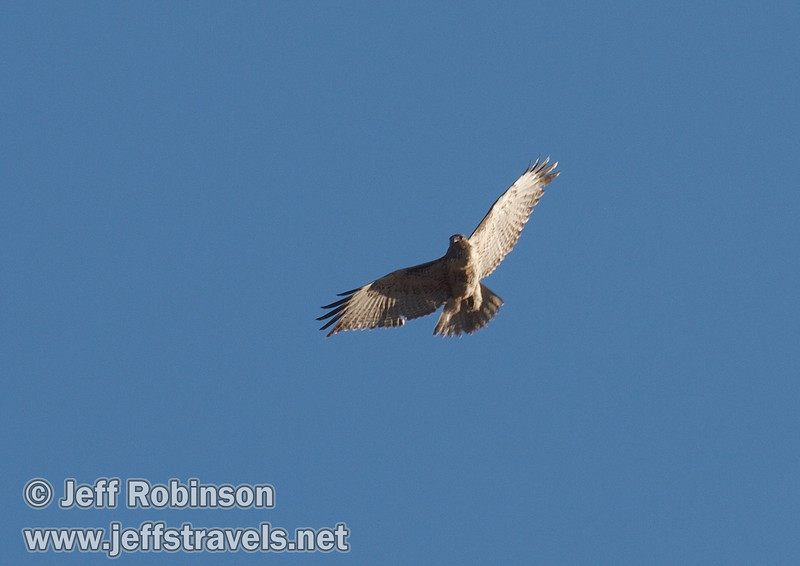 Soaring hawk against blue sky with wispy clouds. This is likely a juvenile Red-tailed Hawk (which shows little to no red) (9/6/2009, Hat Creek Rim hike, Pacific Crest Trail near 44/89 junction)