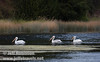 Three White Pelicans swimming on Baum Lake, with floating weeds in the foreground, and reeds and bushes on shore in the background (9/12/2009, Crystal and Baum Lakes, Cassel, CA)