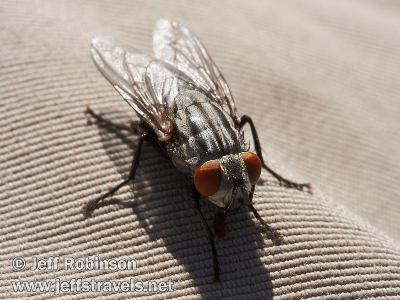 Close up of a fly with red eyes on my pant leg (9/6/2009, Hat Creek Rim hike, Pacific Crest Trail near 44/89 junction)