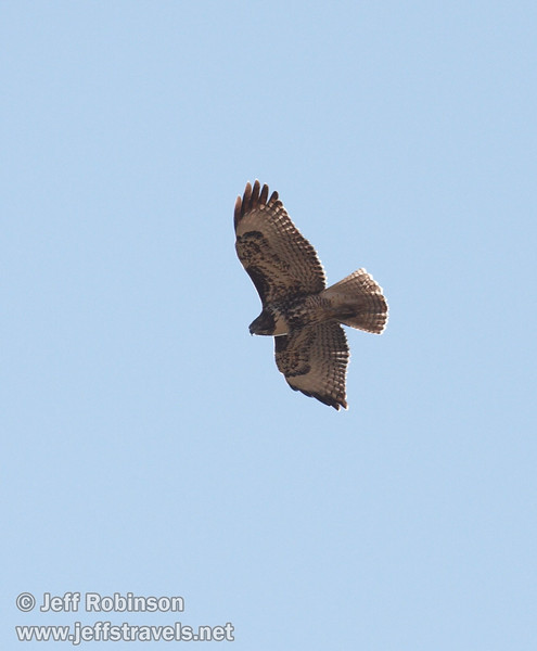 Soaring hawk against blue sky. This is likely a juvenile Red-tailed Hawk (which shows little to no red) (9/6/2009, Hat Creek Rim hike, Pacific Crest Trail near 44/89 junction)