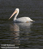 White Pelican in partial sun on the rippled waters of Baum Lake (9/12/2009, Crystal and Baum Lakes, Cassel, CA)