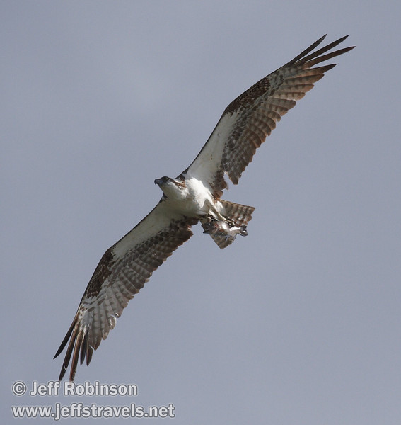 Flying osprey with a fish in its talons against white clouds (9/12/2009, Crystal and Baum Lakes, Cassel, CA)