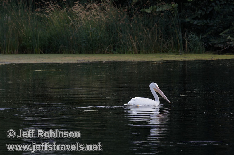 A white pelican swimming on the ripples of Baum Lake, near where Crystal Lake flows into Baum Lake (9/12/2009, Crystal and Baum Lakes, Cassel, CA)