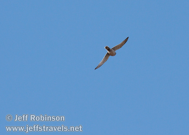 Falcon-like brid in flight. Likely an American Kestrel (9/6/2009, Hat Creek Rim hike, Pacific Crest Trail near 44/89 junction)