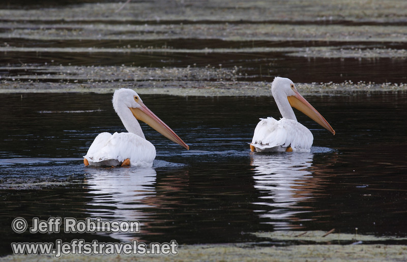 A pair of White Pelicans swimming by the weeds in the rippled waters of Baum Lake (9/12/2009, Crystal and Baum Lakes, Cassel, CA)