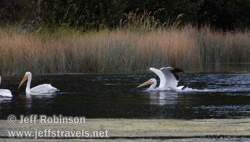 White Pelican landing on Baum Lake, with other pelicans floating in front of him (9/12/2009, Crystal and Baum Lakes, Cassel, CA)