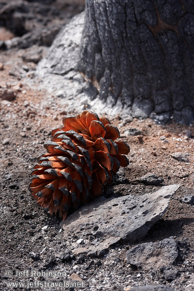 Reddish pine cone on burned ground by burned tree base  (9/6/2009, Hat Creek Rim hike, Pacific Crest Trail near 44/89 junction)