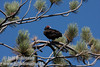 A vulture in a pine tree against deep blue sky near marker 11 (9/8/2009, Spatter Cones Nature Trail, Lassen NF)