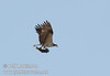 Osprey flying with a good size fish in its talons (9/12/2009, Crystal and Baum Lakes, Cassel, CA)