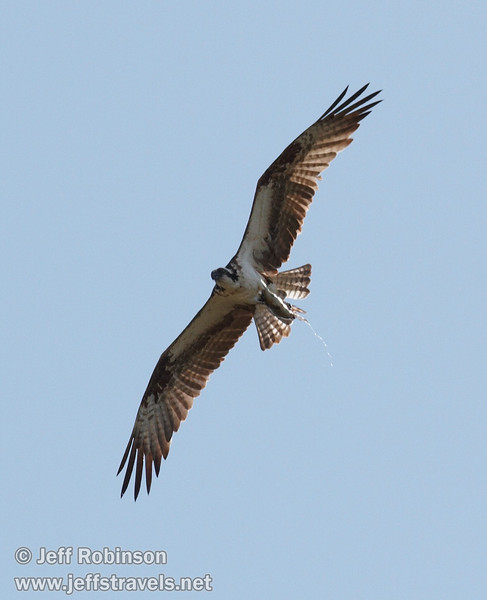 Osprey flying and relieving itself (9/12/2009, Crystal and Baum Lakes, Cassel, CA)