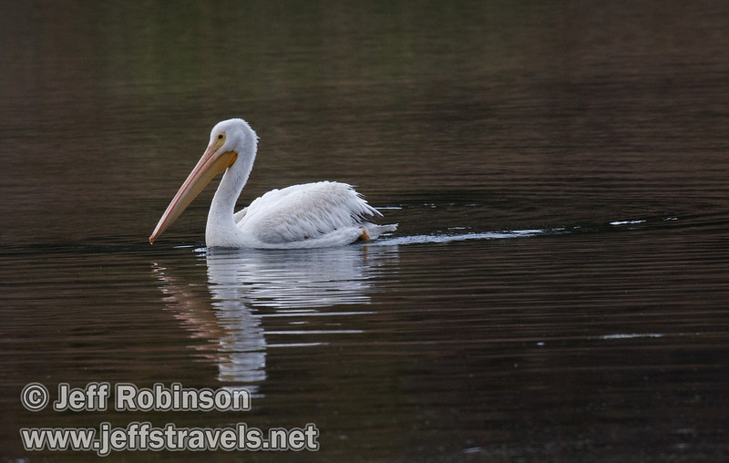 A White Pelicans swimming on Baum Lake (9/12/2009, Crystal and Baum Lakes, Cassel, CA)