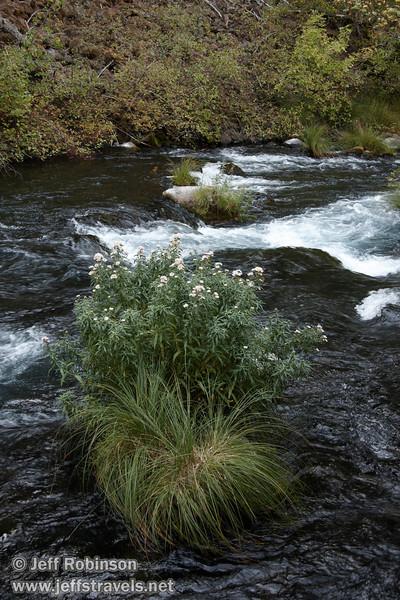 Flowers growing on a small grassy island in Burney Creek, near the loop trail bridge (9/9/2009, Burney Falls Loop Trail, Burney Falls SP)