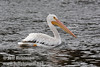 White Pelican swimming on Baum Lake (9/12/2009, Crystal and Baum Lakes, Cassel, CA)