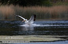 White Pelican landing on Baum Lake (9/12/2009, Crystal and Baum Lakes, Cassel, CA)