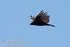 A vulture in flight against deep blue sky near marker 11 (9/8/2009, Spatter Cones Nature Trail, Lassen NF)