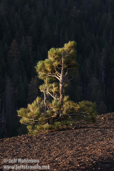 Small, lone pine by the edge of the rim trail on Cinder Cone against the shaded forest in the distance (9/11/2009, Cinder Cone hike, Lassen NP)