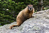 Yellow-bellied marmot, Rocky Mountain National Park