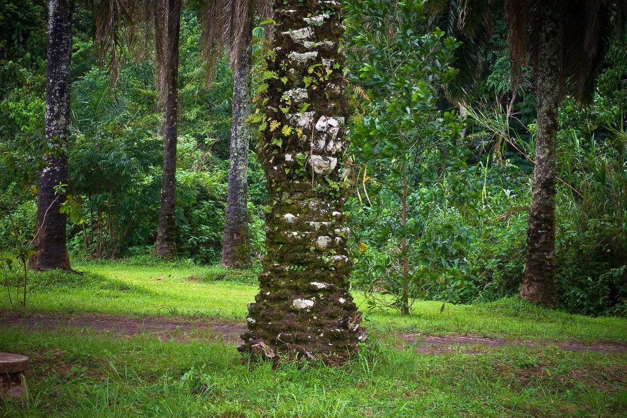 Palm Tree, Yekepa