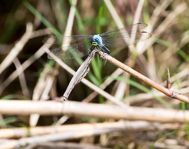 Clown Dragonfly