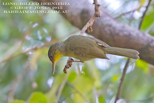 Long-billed Bernieria