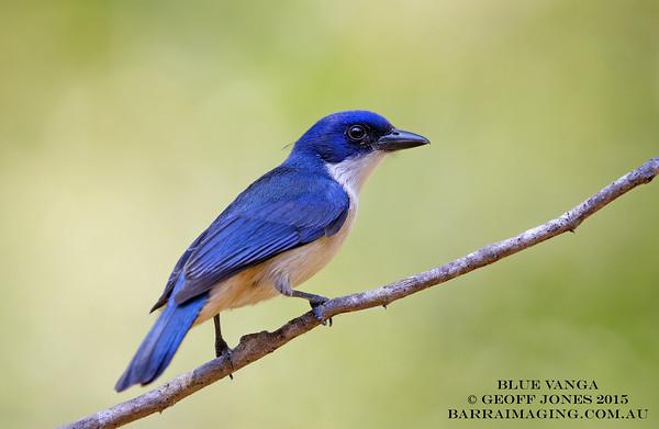 Blue Vanga female